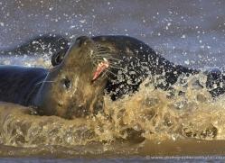 seal-donna-nook-141-copyright-photographers-on-safari-com