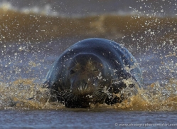 seal-donna-nook-142-copyright-photographers-on-safari-com