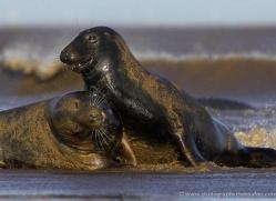 seal-donna-nook-143-copyright-photographers-on-safari-com