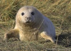 seal-donna-nook-146-copyright-photographers-on-safari-com
