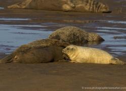 seal-donna-nook-150-copyright-photographers-on-safari-com