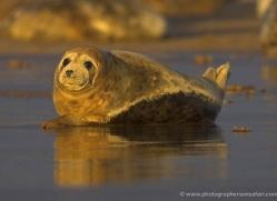 seal-donna-nook-153-copyright-photographers-on-safari-com