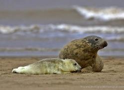 seal-donna-nook-156-copyright-photographers-on-safari-com
