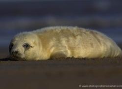 seal-donna-nook-158-copyright-photographers-on-safari-com