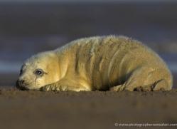seal-donna-nook-160-copyright-photographers-on-safari-com