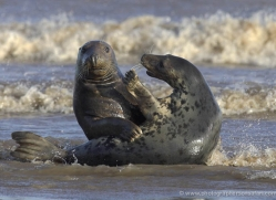 seal-donna-nook-161-copyright-photographers-on-safari-com