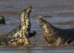 seal-donna-nook-169-copyright-photographers-on-safari-com