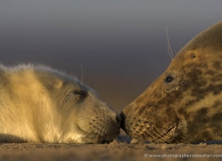 seal-donna-nook-170-copyright-photographers-on-safari-com