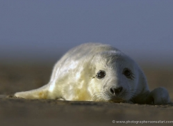 seal-donna-nook-171-copyright-photographers-on-safari-com