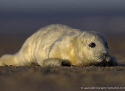 seal-donna-nook-172-copyright-photographers-on-safari-com