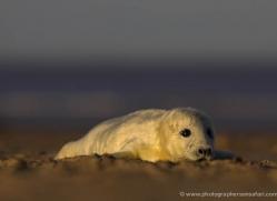 seal-donna-nook-173-copyright-photographers-on-safari-com