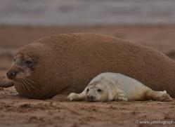 seal-donna-nook-175-copyright-photographers-on-safari-com