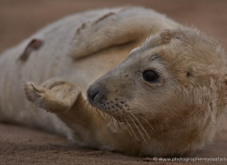 seal-donna-nook-179-copyright-photographers-on-safari-com