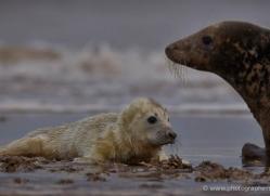 seal-donna-nook-180-copyright-photographers-on-safari-com