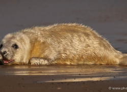 seal-donna-nook-191-copyright-photographers-on-safari-com