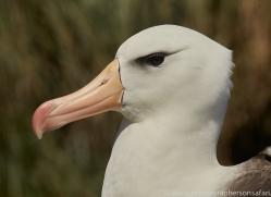 black-brow-albatross-copyright-photographers-on-safari-com-8990