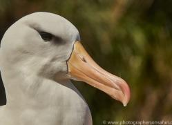 black-brow-albatross-copyright-photographers-on-safari-com-8991