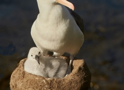 black-brow-albatross-copyright-photographers-on-safari-com-8993