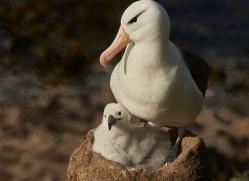 black-brow-albatross-copyright-photographers-on-safari-com-8994