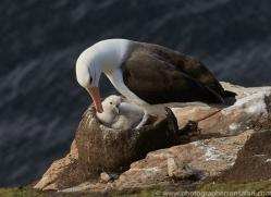black-brow-albatross-copyright-photographers-on-safari-com-8998