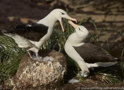 black-brow-albatross-copyright-photographers-on-safari-com-9003