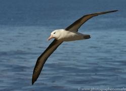black-brow-albatross-copyright-photographers-on-safari-com-9004
