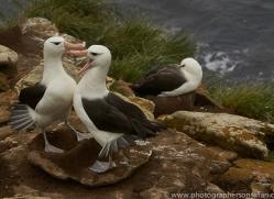 black-brow-albatross-copyright-photographers-on-safari-com-9006