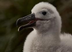 black-brow-albatross-copyright-photographers-on-safari-com-9011
