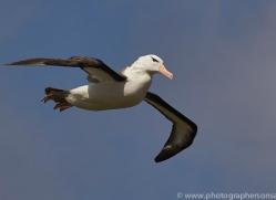 black-brow-albatross-copyright-photographers-on-safari-com-9018