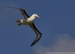 black-brow-albatross-copyright-photographers-on-safari-com-9019