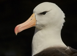 black-brow-albatross-copyright-photographers-on-safari-com-8989