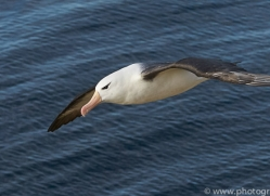 black-brow-albatross-copyright-photographers-on-safari-com-8995