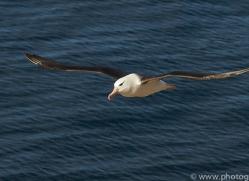 black-brow-albatross-copyright-photographers-on-safari-com-8997