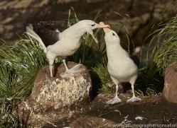 black-brow-albatross-copyright-photographers-on-safari-com-9001