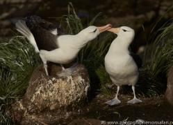 black-brow-albatross-copyright-photographers-on-safari-com-9002