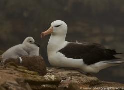 black-brow-albatross-copyright-photographers-on-safari-com-9005