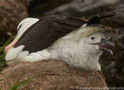 black-brow-albatross-copyright-photographers-on-safari-com-9008