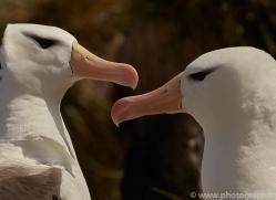 black-brow-albatross-copyright-photographers-on-safari-com-9015