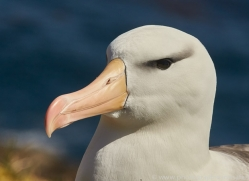 black-brow-albatross-copyright-photographers-on-safari-com-8987