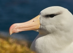 black-brow-albatross-copyright-photographers-on-safari-com-8988