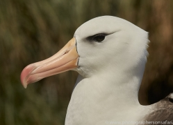 black-brow-albatross-copyright-photographers-on-safari-com-8990