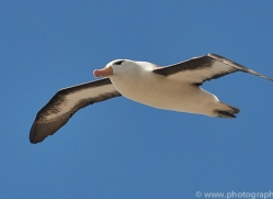 black-brow-albatross-copyright-photographers-on-safari-com-8992
