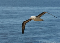 black-brow-albatross-copyright-photographers-on-safari-com-8996