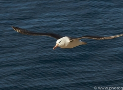 black-brow-albatross-copyright-photographers-on-safari-com-8997