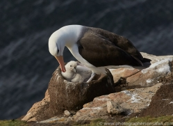 black-brow-albatross-copyright-photographers-on-safari-com-8998