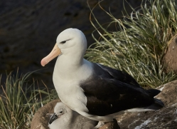 black-brow-albatross-copyright-photographers-on-safari-com-8999