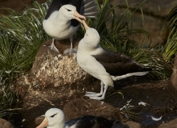 black-brow-albatross-copyright-photographers-on-safari-com-9000