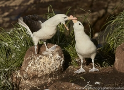 black-brow-albatross-copyright-photographers-on-safari-com-9001