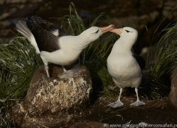 black-brow-albatross-copyright-photographers-on-safari-com-9002
