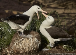 black-brow-albatross-copyright-photographers-on-safari-com-9003